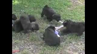 Chocolate Mini Schnauzer Puppies Uk