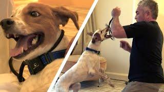 Cesar Millan Gains a Violent Dog's Trust | Cesar 911