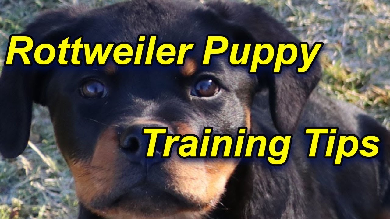 How To Train A Rottweiler Puppy Youtube