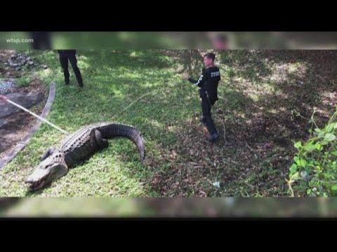 Randi West - A 100 year old gator trapped