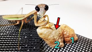 ¡La mantis religiosa ha puesto su segundo huevo! Increíble desove de Kiwi
