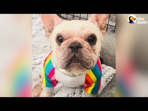 Watch This Frenchie Transform With Love | The Dodo
