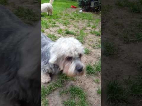 Dandie dinmont terriers playing.