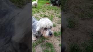 Dandie dinmont terriers playing.