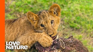 Baby Lion Cubs Taste Meat For The First Time