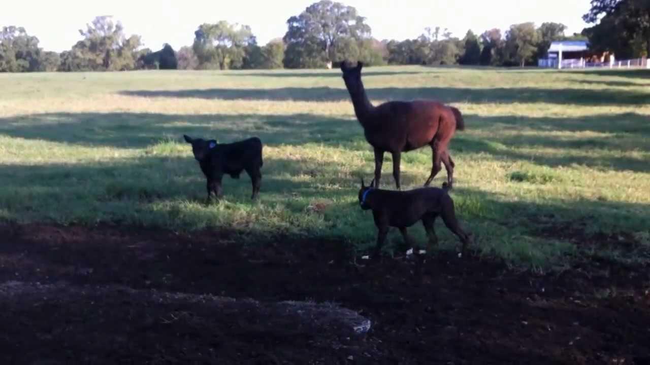 guard llamas