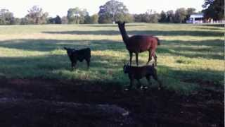 Guard Llama Protecting Week Old Calf