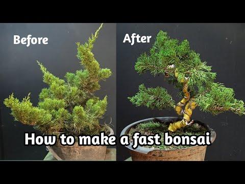 cara-cepat-dan-singkat-membuat-bonsai-(-bonsai-cemara-sinensis)-shimpaku-bonsai