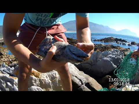 Crayfish Catching, Betty's Bay - Cape Town