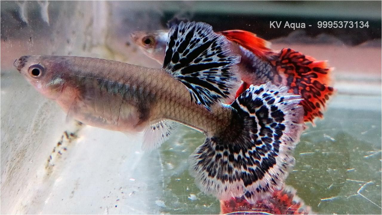 Guppy Fish Farm In Kerala Youtube