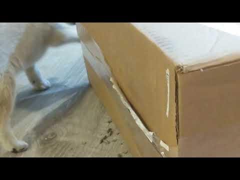 Alaskan Klee Kai in a box.