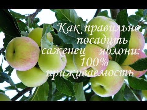 САЖАЕМ ЯБЛОНЮ 100% приживаемость / Как посадить яблоню / Правильная посадка саженца весной | правильная | посадить | саженец | посадка | яблоня | яблоню | яблони | весной | как | п