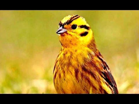 yellowhammer bird youtube