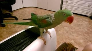 Александрийский попугай Гринни