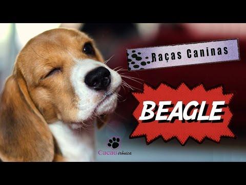 Beagle - Raças Caninas