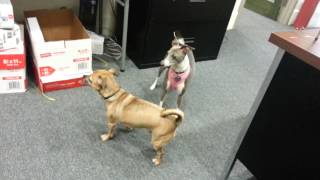 Dogs Getting Rowdy At Work; Miniature Italian Greyhound & Chihuahua - Pug Mixes