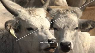 Hungarian Grey cattle SLOW MOTION - TOP SELLING - STOCKVIDEO