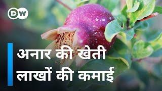 राजस्थान में अनार की खेती, मुनाफे का सौदा [Pomegranate Farming in Jodhpur]
