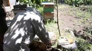 Майский Мёд(Собираем майский Мёд в Молдави самый полезный в цветочный также продаем все что связано с пчёлами и пчёл..., 2015-06-15T10:30:00.000Z)