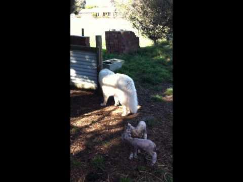 Arawn Maremma Sheepdogs-Caergwydion Lumen.mp4