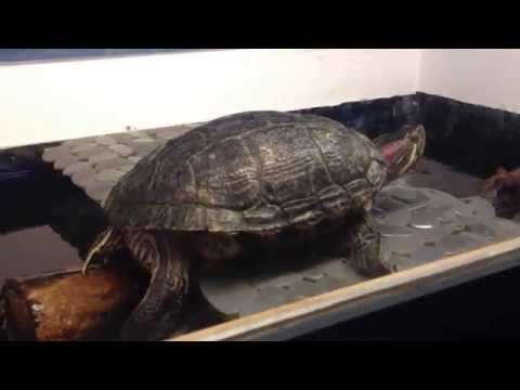 Red Ear Slider Turtle laying eggs