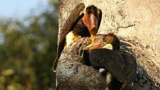 Hunting The Helmeted Hornbill
