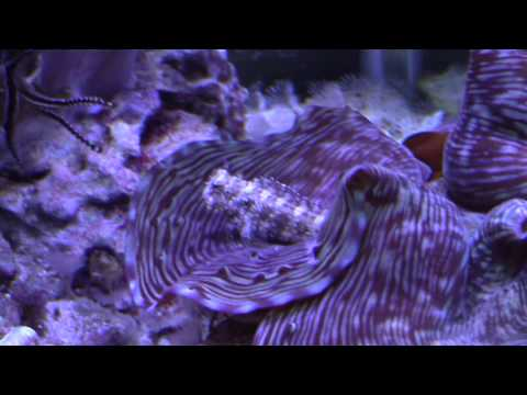Lawnmower Blenny Care
