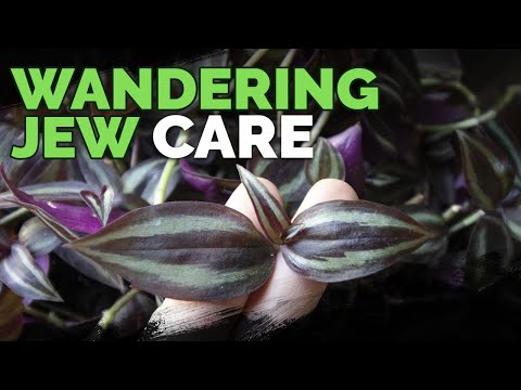 Wandering Jew Plant Care: Growing Tradescantia Zebrina