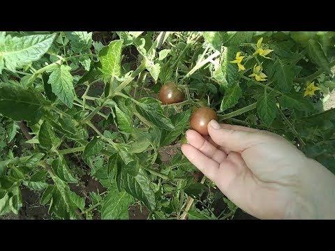 Сорт томата Черный шоколад. И еще о том как нас обманывают с семенами.