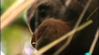 El Orangutan (Documental) Sobreviviendo en la naturaleza_Español-castellano