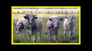 Le blanc-bleu belge, viande préférée des Wallons