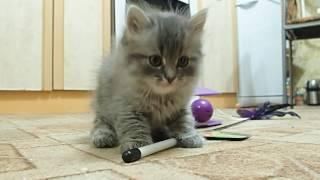 Сибирская кошка. котенку 1 месяц 12 дней.