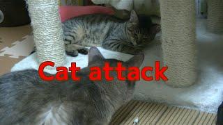 ソマリ兄さんの厳しいしつけ、子猫強烈猫パンチもらう A kitten catches...