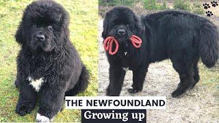 Newfoundland Puppy growing up 02 Years  NEWFOUNDLAND DOG | Too Cute