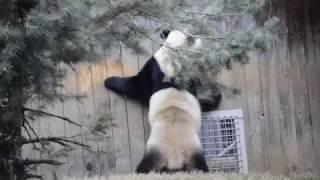 Bao Bao doing her dance