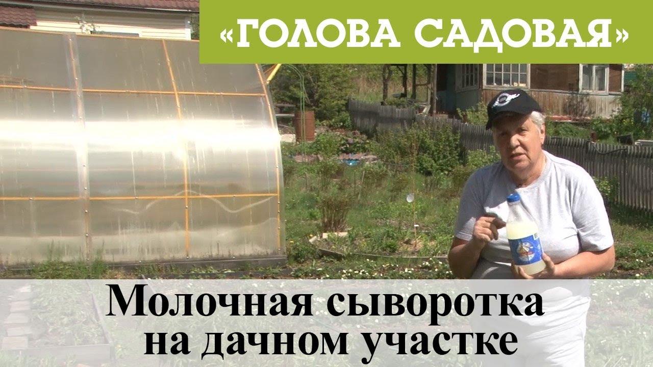 Голова садовая - Молочная сыворотка на дачном участке