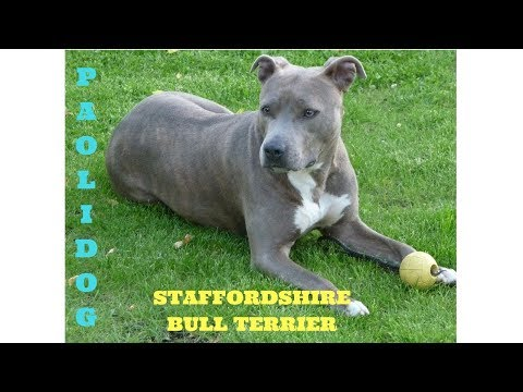 STAFFORDSHIRE BULL TERRIER  (Top 10 interesting facts)
