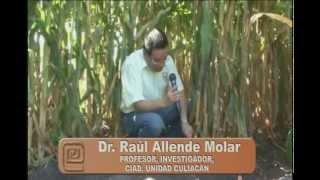 Bioprotectores contra fusarium de maíz y rabia del garbanzo