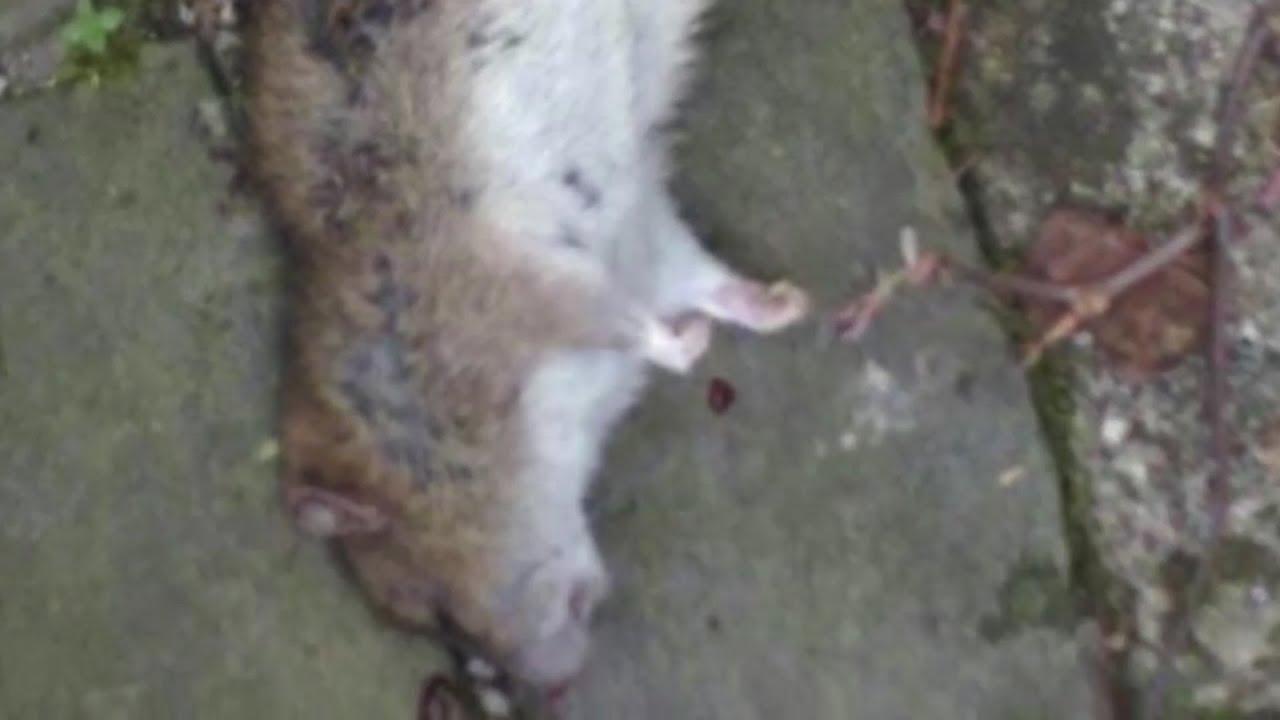 Ratten Erfolgreich Im Garten Bekämpfen Youtube