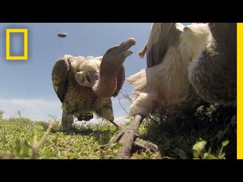 Terrificante Come sarebbe essere divorati dagli Avvoltoi !! | National Geographic
