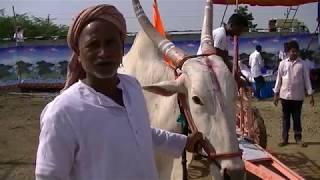 Surpale bulls running at Mudhol race बैलगाडा शर्यत