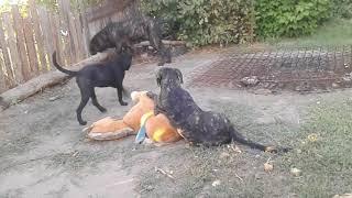 О породе, собака кане-корсо, смотреть фильмы  про  любовь к породе,  собака кане-корсо ахилесс