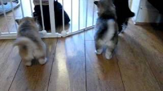 Husky pups at 5 weeks playing