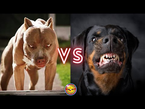 Pitbull VS Rottweiler.  Who Will Win The Fight?