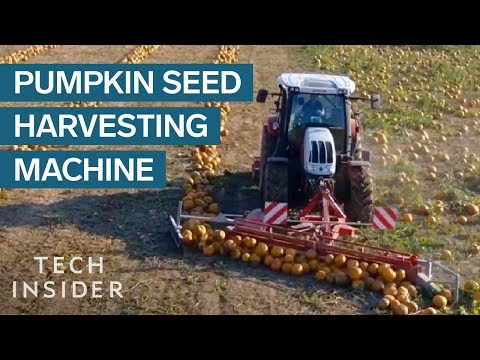 How Pumpkin Seeds Are Harvested