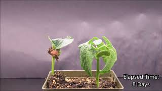 Monocot and Eudicot Germination Time-lapse