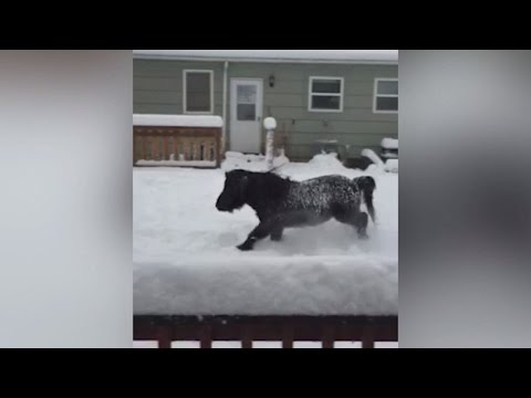 Adorable Miniature Horse Has Fun Day Playing In The Snow For Hours