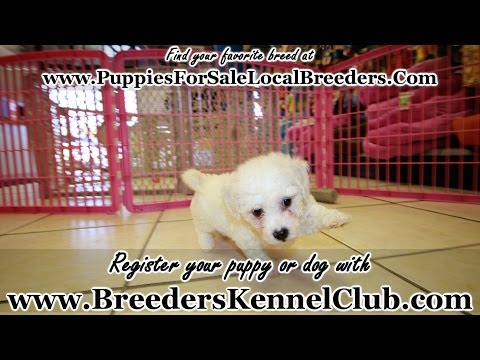 Bichon Frise, Puppies For Sale, In Tampa, Florida, FL, 19Breeders, Fort Lauderdale, Hollywood