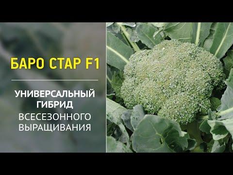 Баро Стар F1 – универсальный гибрид всесезонного выращивания