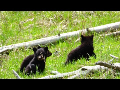 Babies Black Bears climbing and playing in Tree Yellowstone cheeky cute Bear Kid Puppies Bears Kids